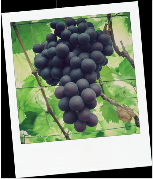 Druivenkwekerij Sonnehoeck